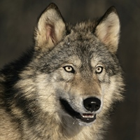 Dogs are descendants of the Wolf
